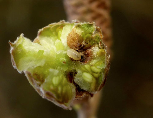 Contarinia coryli: larva in its gall