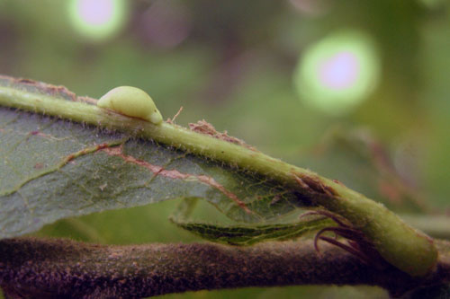 Pseudoeuroterus saliens FF gall on Quercus cerris