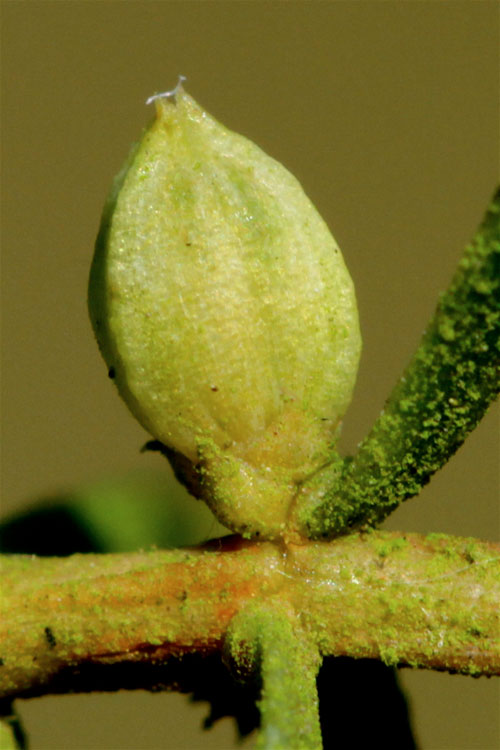 Oligotrophus schmidti: gall on Juniperus communis