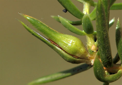 Oligotrophus panteli: gall on Juniperus communis