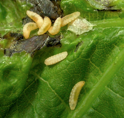 Dasineura irregularis: larvae and cocoon on Acer saccharinum