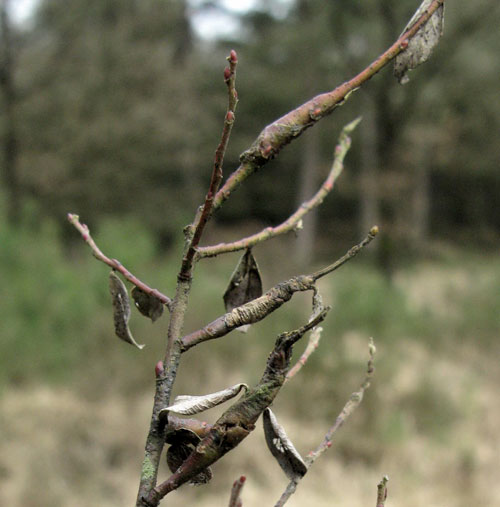 Euura weiffenbachii: old galls on Salix repens