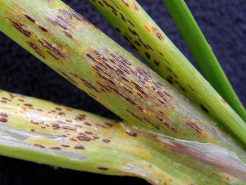 Puccinia alli: uredinia and telia on Allium schoenoprasum