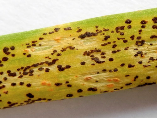 """Puccinia alli: telia on Allium schoenoprasum"