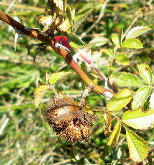 Diplolepis mayri: gall on Rosa spec.