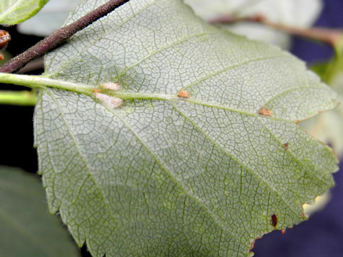 Eriophyes leionotus: gall on Betula pubescens leaf