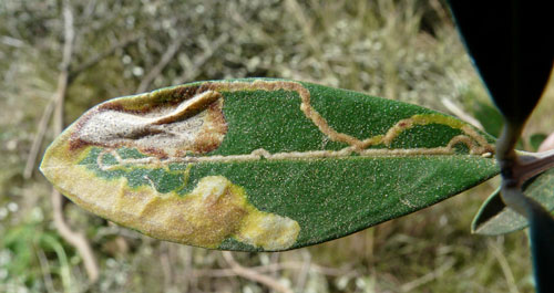 Metriochroa latifoliella: mine on Olea europaea