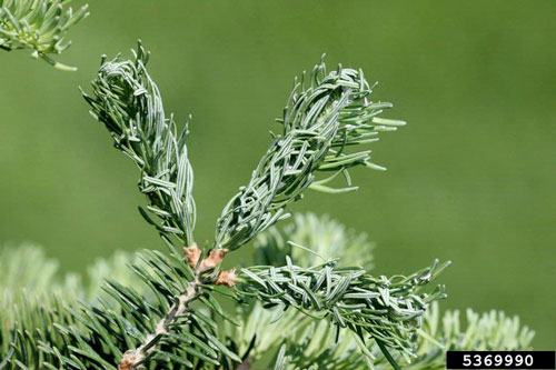 Mindarus abietinus: damage to Abies balsamea