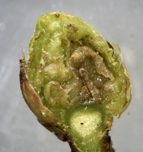 Cecidophyopsis ribis: opened gall on Ribes nigrum