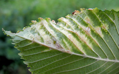 Tetraneura ulmi: underside of a galled leaf