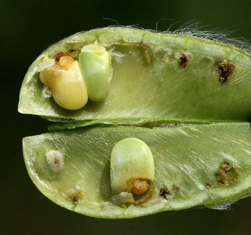 Tychius parallelus on Cytisus scoparius: opened pod