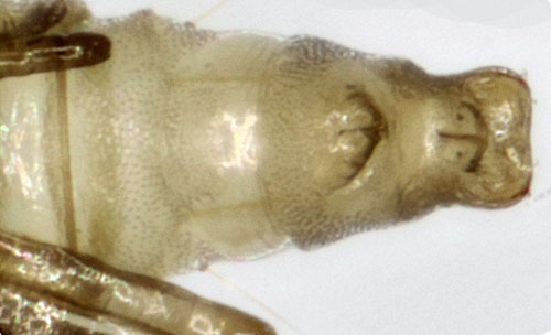 Phyllonorycter anderidae: exuvium