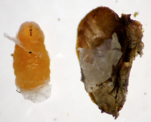 Cupressatia siskiyou: larva and disfigured seed