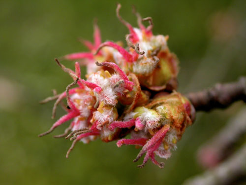 Periphyllus spec. galling inflorescence of Acer platanoides