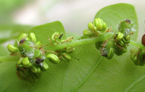 Andricus foecundatrix: sexual generation gall on Qercus robur