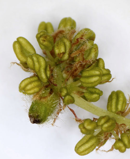 Andricus foecundatrix: sexual generation gall on Quercus robur
