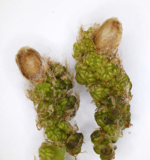 Andricus solitarius: sexual stage gall on Quercus robur