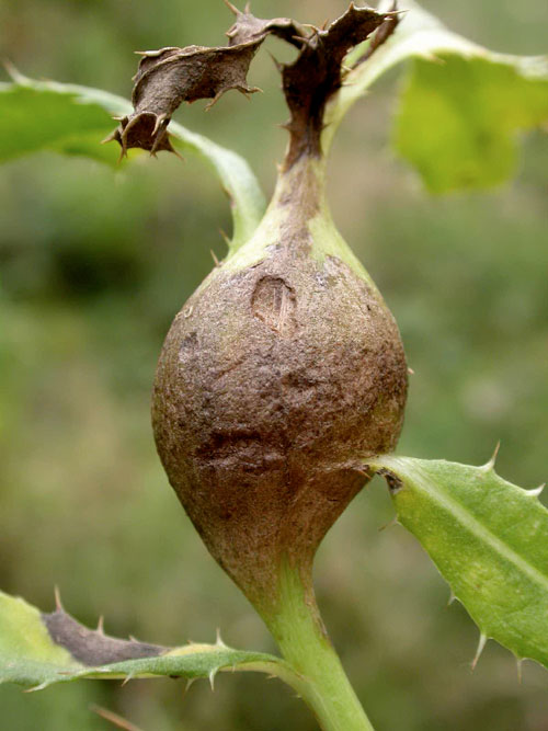 Urophora cardui gall