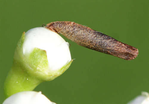 Coleophora spinella on flower buds of Crataegus monogyna