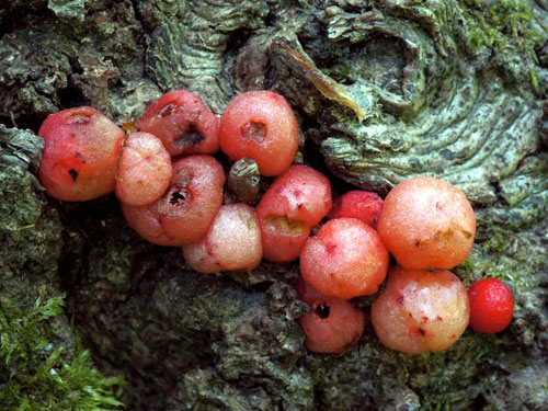 Andricus rhyzomae: galls on Quercus robur