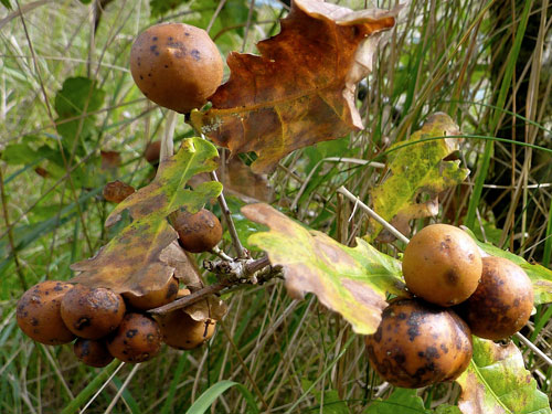 Andricus kollari: ripe galls on Quercus robur