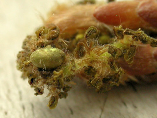 Neuroterus albipes FM gall on Quercus robur catkin