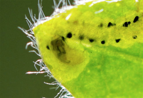 Agromyza pulla: larva in mine on Genista sagittalis
