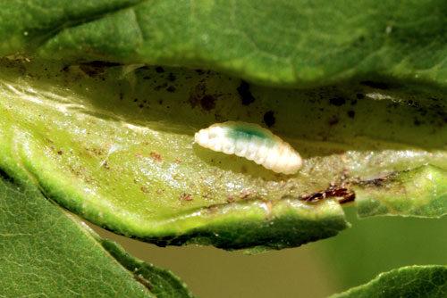 Dasineura acrophila: larva in opened gall