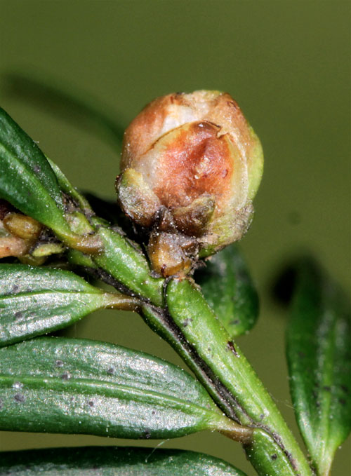 Cecidophyopsis psillaspis: gall on Taxus baccata