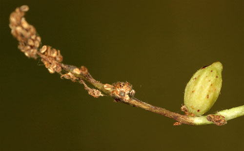 Andricus quadrilineatus: parisitised gall