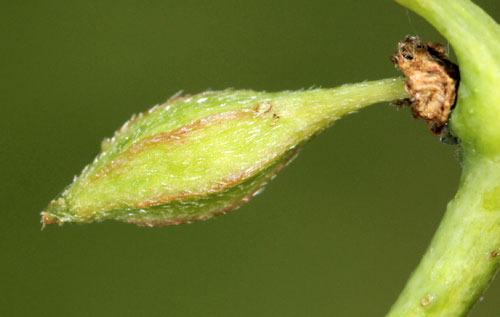 Andricus seminationis: gall on Quercus sp.