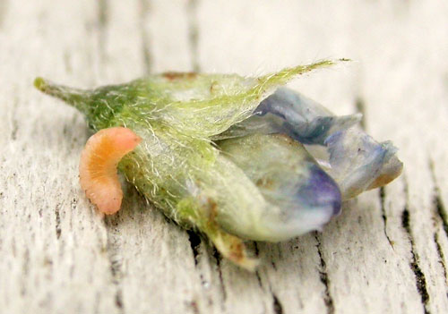 Anabremia viciae: gall with full-grown larva on Vicia cracca