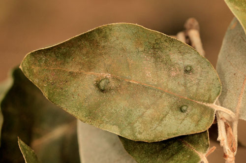 Aceria ilicis: galls on Quercus ilex