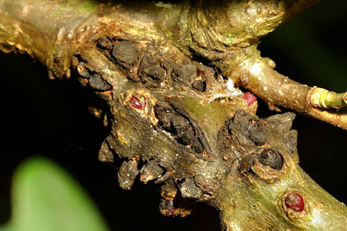 Andricus testaceipes: fresh galls on Quercus robur