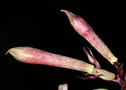 Microbotryum saponariae: galled flowers of Saponaria officinalis