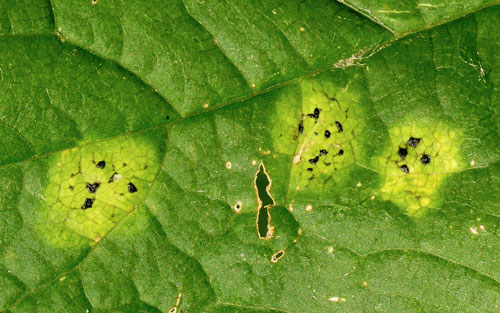 Rhytisma acerinum: very young ink spots