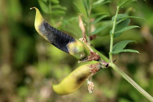 Asphondylia ervi: galled pod of Vicia sativa