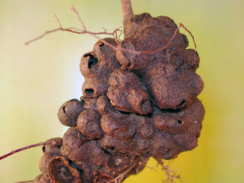 Pediaspis aceris: agamous generation gall on Acer pseudoplatanus root