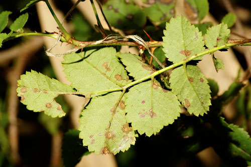 cf Elsinoe rosarum leaf spots on Rosa spinosissima