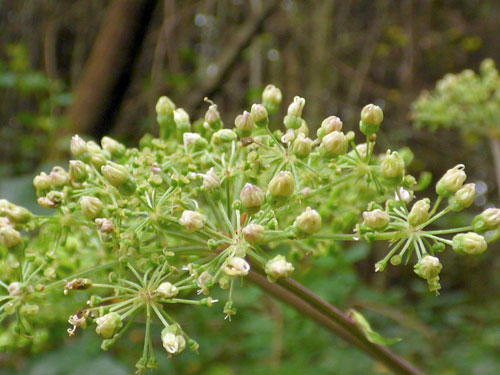 Dasineura angelicae: galling flowers of Angelica sylvestris