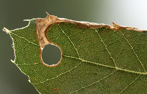 Orchestes avellanae: mine on Quercus ilex