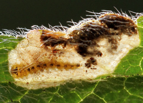 Trachys quercicola: larva in its mine