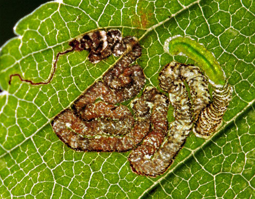 Stigmella viscerella: mine on Ulmus spec.
