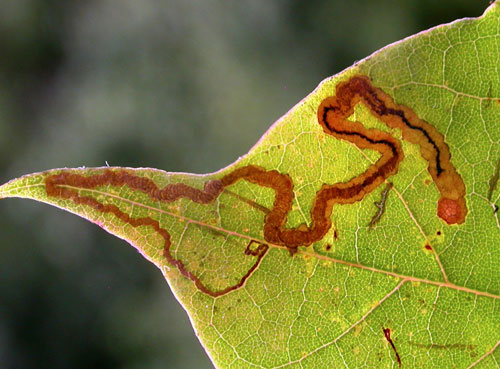 Stigmella aceris: vacated mine on Acer platanoides