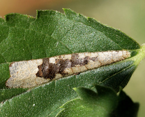 Phyllonorycter millierella: mine on Celtis australis