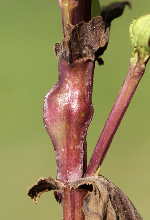 Smicronyx swertiae: stem gall in Gentianella germanica