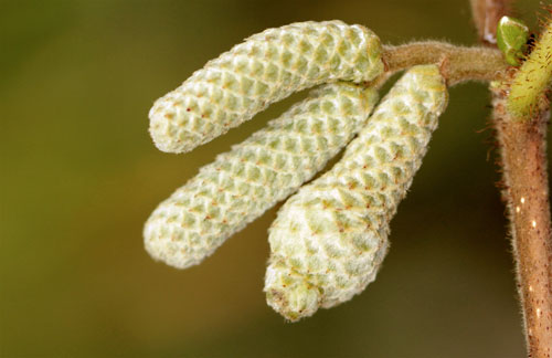 Corylus avellana: galled catkin of Corylus avellana