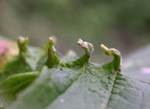 unknown eriophyid gall on Acer pseudoplatanus