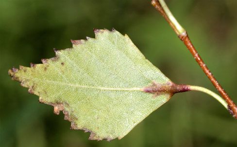 Massalongia rubra: gall on Betula pendula