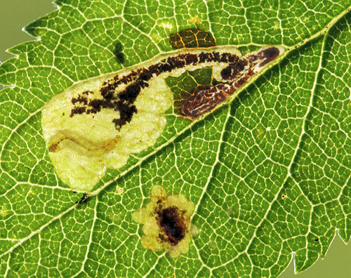 Ectoedemia spinosella: larve in mine on Prunus spinosa